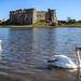 Carew Castle Swan