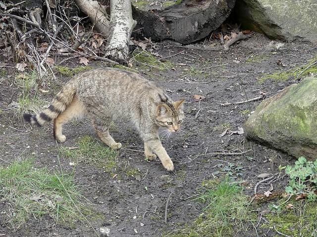 Wildkatze, Zoo Duisburg