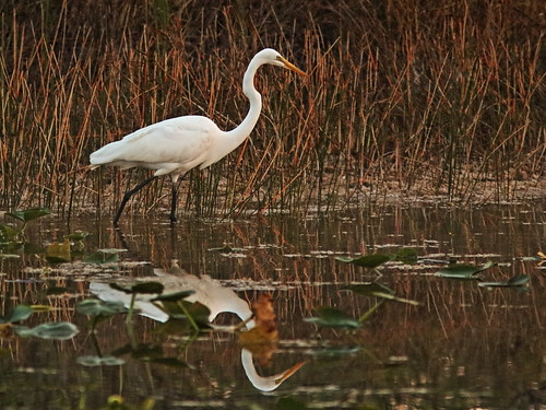 Great Egret 01-20180326