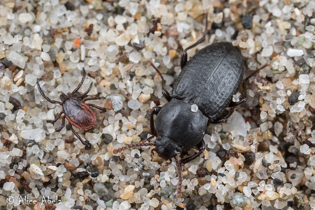 Western Black-legged Tick (Ixodes pacificus) and Epantius obscurus