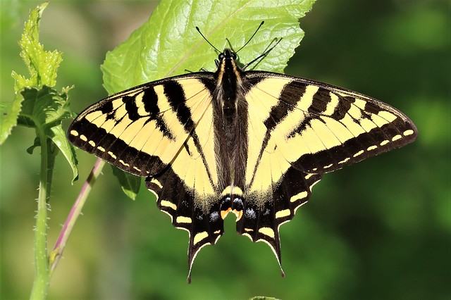 Papilio rutulus Western Tiger, Canon EOS REBEL T6S, Canon EF 100-400mm f/4.5-5.6L IS II USM