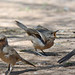 Curve-billed Thrashers Feeding Juvie