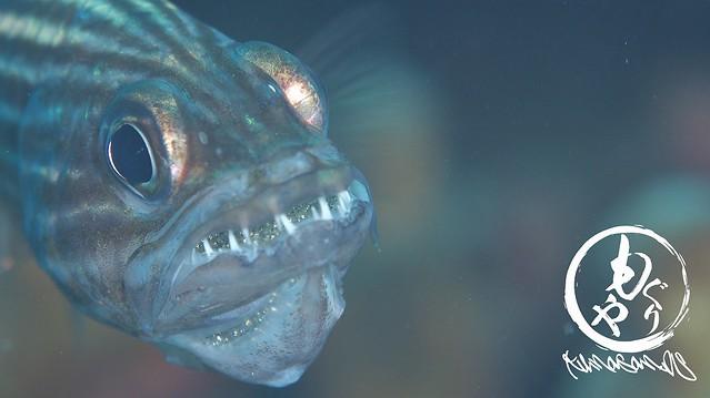 お口の中だけでなく、顎の中もが卵でぎっしり!