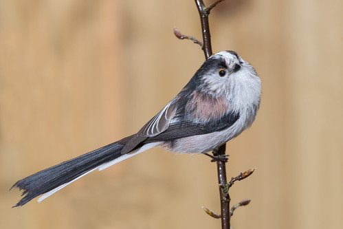 Long-tailed Tit-234