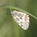 Roosting Marbled White!