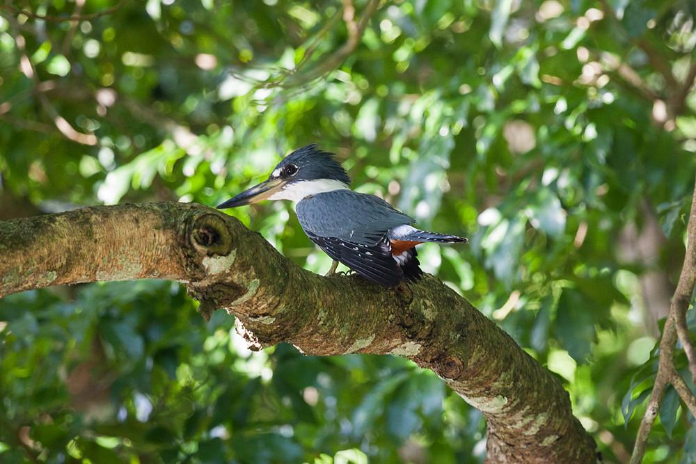 Красногрудый зимородок (Megaceryle torquata)