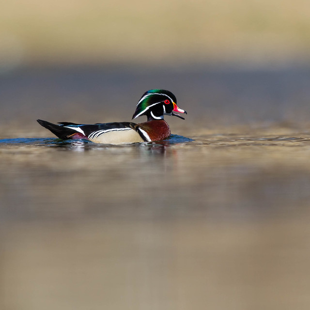 _96E0906-Wood Duck, Canon EOS-1D MARK IV, Canon EF 600mm f/4.0L IS II USM