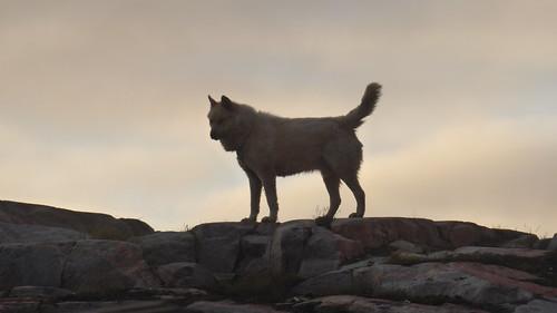 Aasiaat dogs 3
