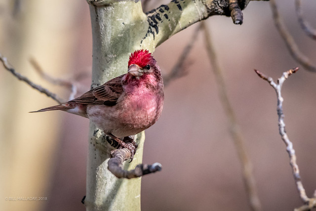 Cassin's Finch, Male