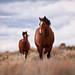 Steens Wild Horses by Andrew Kumler