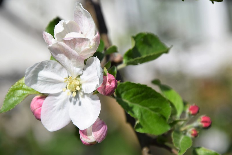 Apple Blossom 22.04 (1)