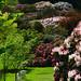 Rhododendrons at Riverhill Himalayan Gardens