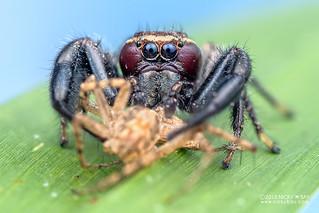 Jumping spider (Thyene bucculenta) - DSC_3198