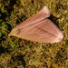 Vestal (pink form) - Rhodometra sacraria