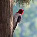 Red Headed Woodpecker by Bruce Bugbee