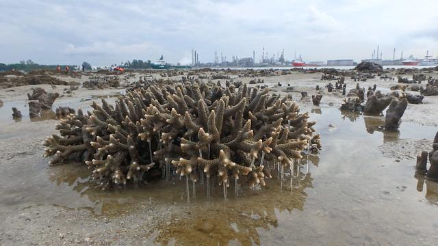 Pinecone acropora coral (Acropora sp.) producing slime
