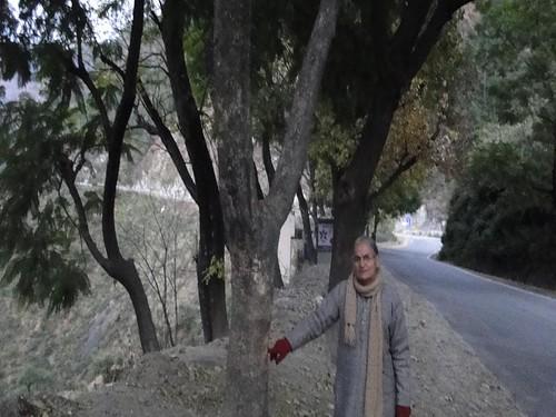 बद्रीनाथ हाइवे पर पीपलकोटि के निकट चिन्हित पेड़