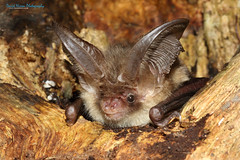 Brown Long-eared Bat, Plecotus auritus