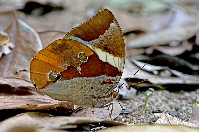 Thauria lathyi - the Siam Jungleglory