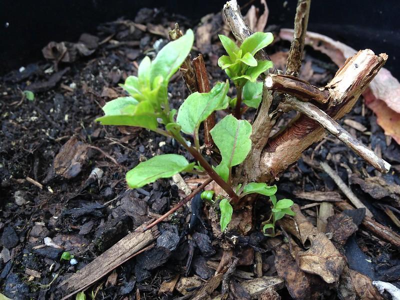 Fuchsiaberry regrowth
