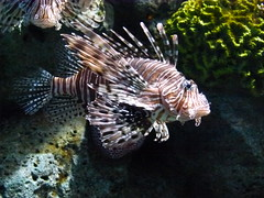 Lionfish #2