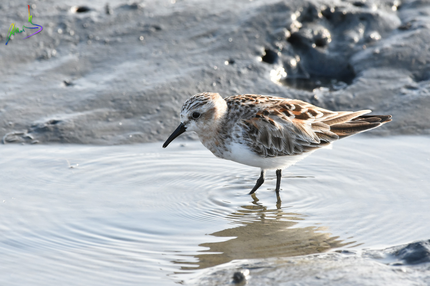 Red-necked_Stint_1697