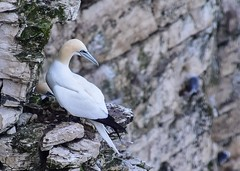 Gannet on a ledge