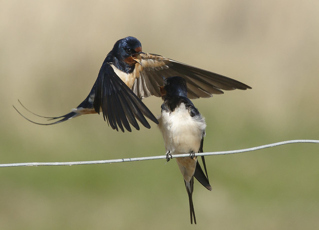 Swallows, Canon EOS 7D MARK II, Canon EF 400mm f/4 DO IS