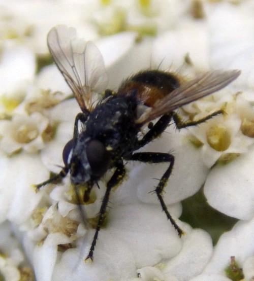 Besseria anthophila 27217180298_8e1bd3bedc_o