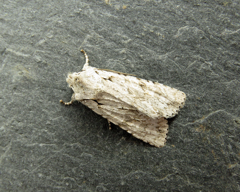 73.202 Grey Shoulder-knot - Lithophane ornitopus