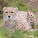 ROG_7605b Cheetah
