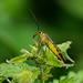 Female Scorpion Fly —- Panorpa communis