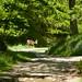 Deer on the path