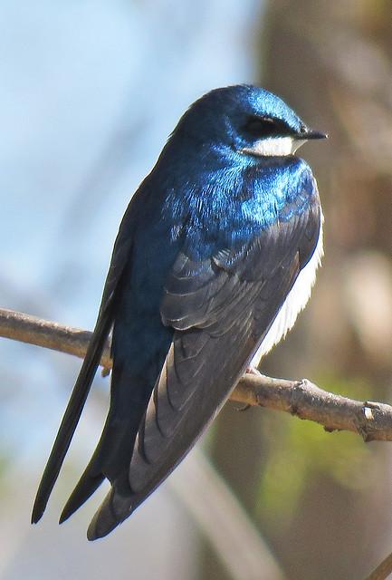 Tree Swallow - Tachycineta bicolor, Mason Neck, Virginia