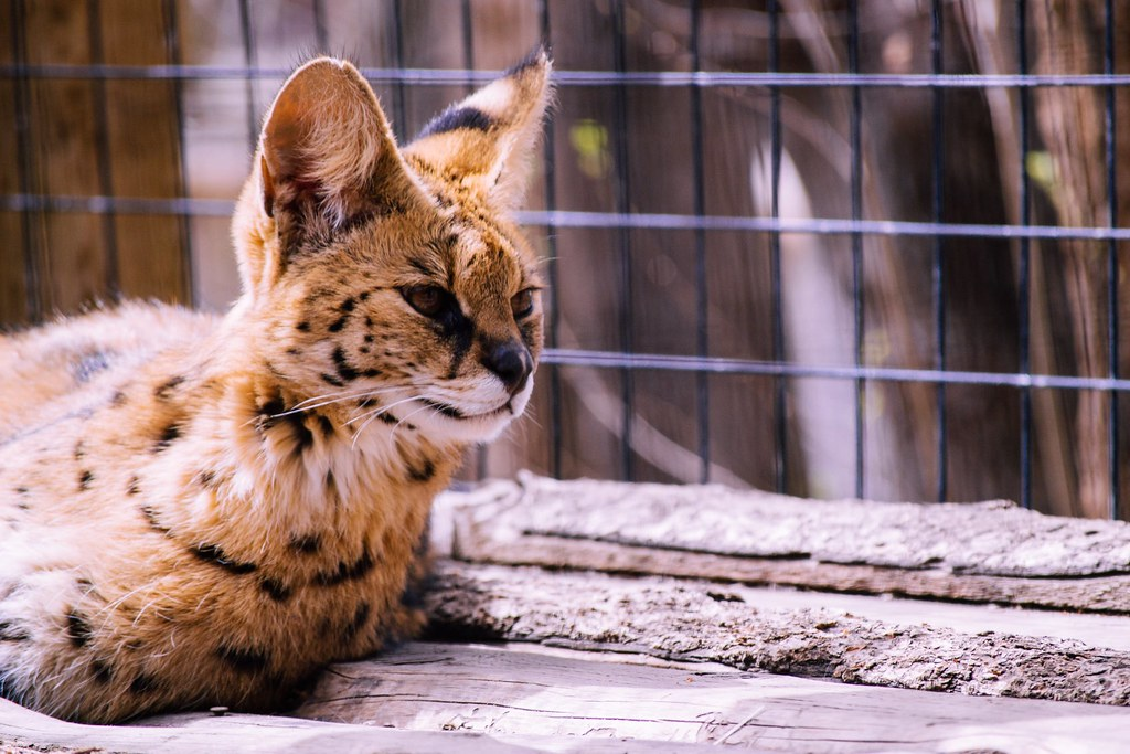 gato-cheetoh