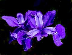 Iris, purple