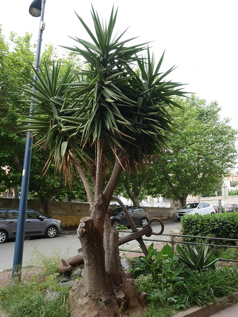 Yucca elephantipes - Yucca gigantea - Yucca guatemalensis - Page 4 40644221580_774b5b2063_z