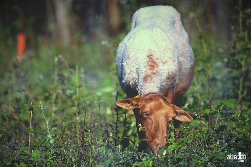 [01 juin 2018] – Un jour, une photo : De l'éco-pâturage à la courrouze...