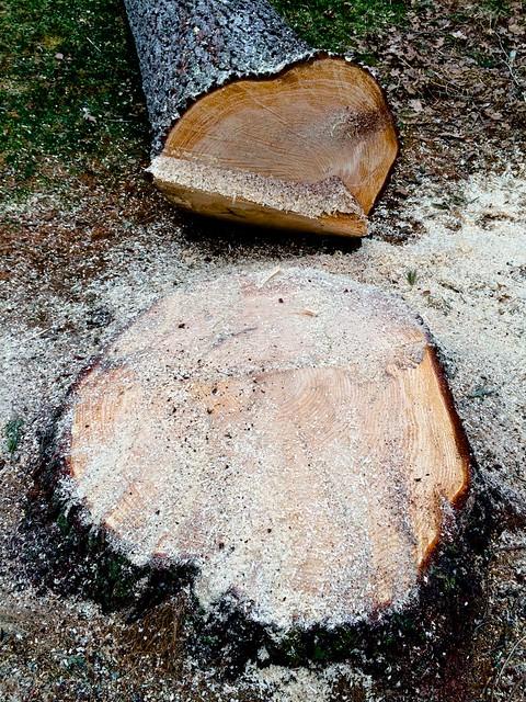 Wick's pine 2
