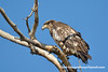 Bald Eagle (Haliaeetus leucocephalus), 2nd year DSC_6752 by fotosynthesys