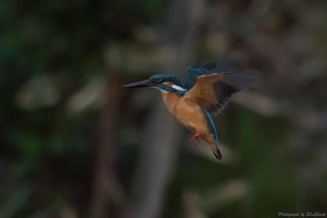 20180330-kingfisher-DSC_0591
