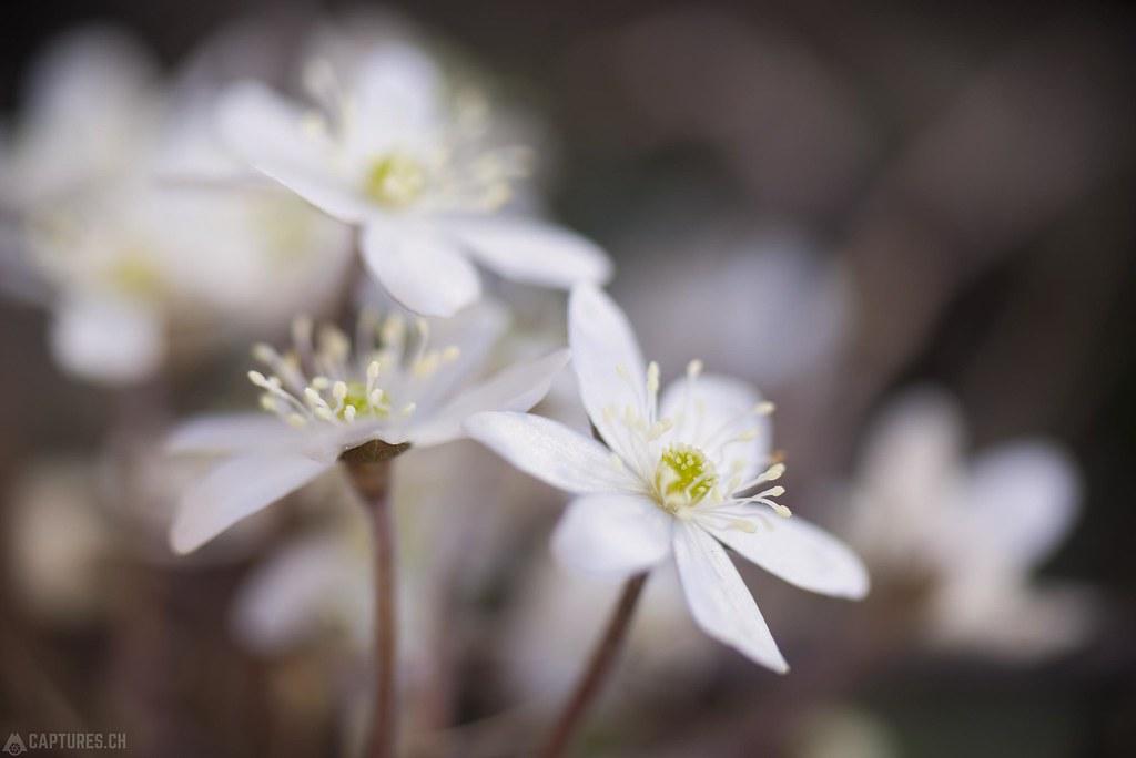 Weisse Leberblümchen - Eischoll