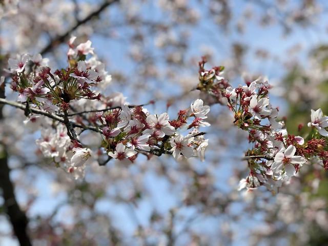 犬山城にて 桜 IMG_E0235_2