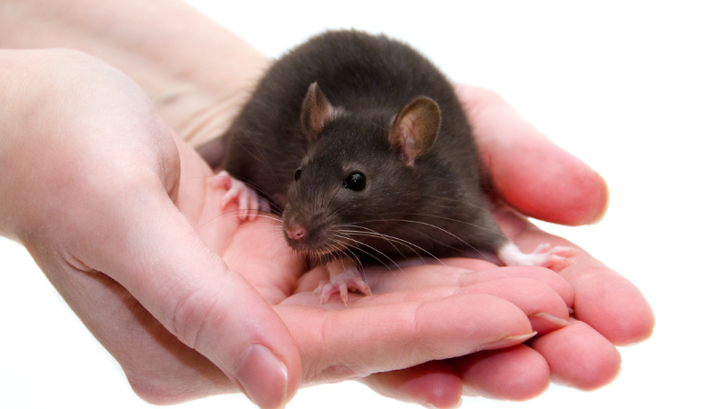 A laboratory rat being carefully cradled