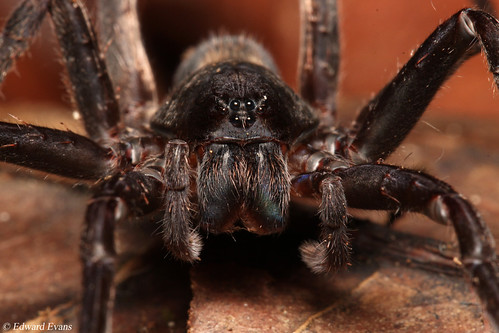 Wandering Spider (Ctenus sp.)