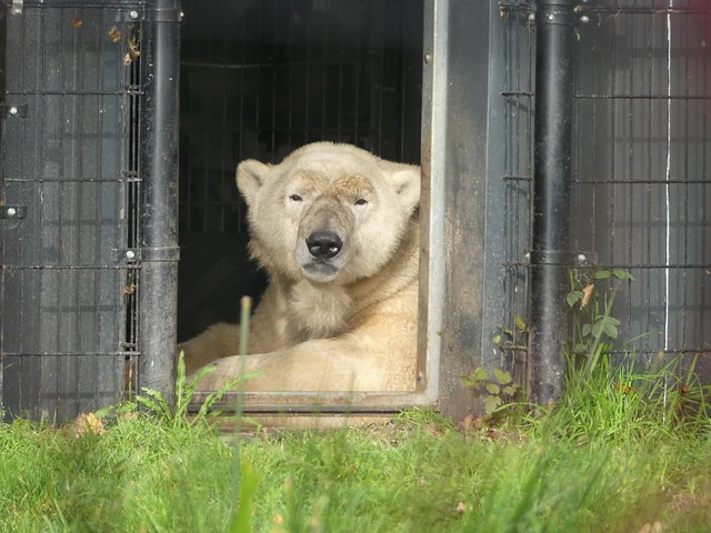 Eisbär Nanu, AquaZoo Friesland