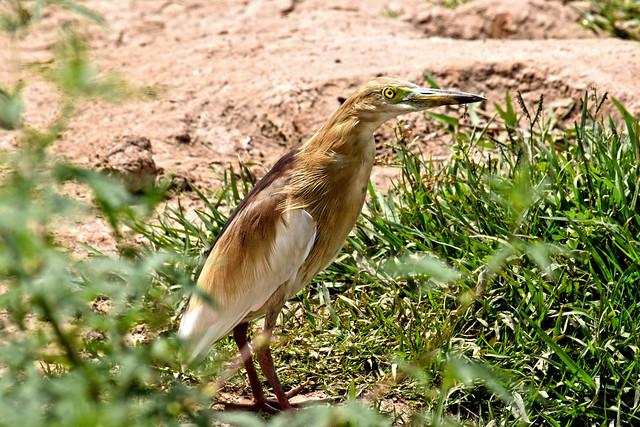Indian pond heron, Nikon D3300, AF Nikkor 28mm f/1.4D