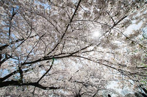 桜に太陽を透かして