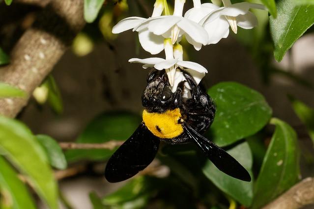 Carpenter bee (f), Canon EOS 700D, Sigma 105mm f/2.8 EX DG OS HSM Macro