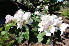 Apple blossom as big as dinner plates, nearly, and scented